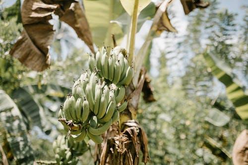 Gratis stockfoto met banaan, biologisch, blad