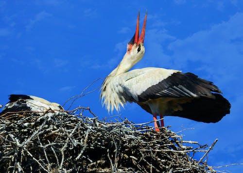 Free stock photo of bill clattering, nest, stork