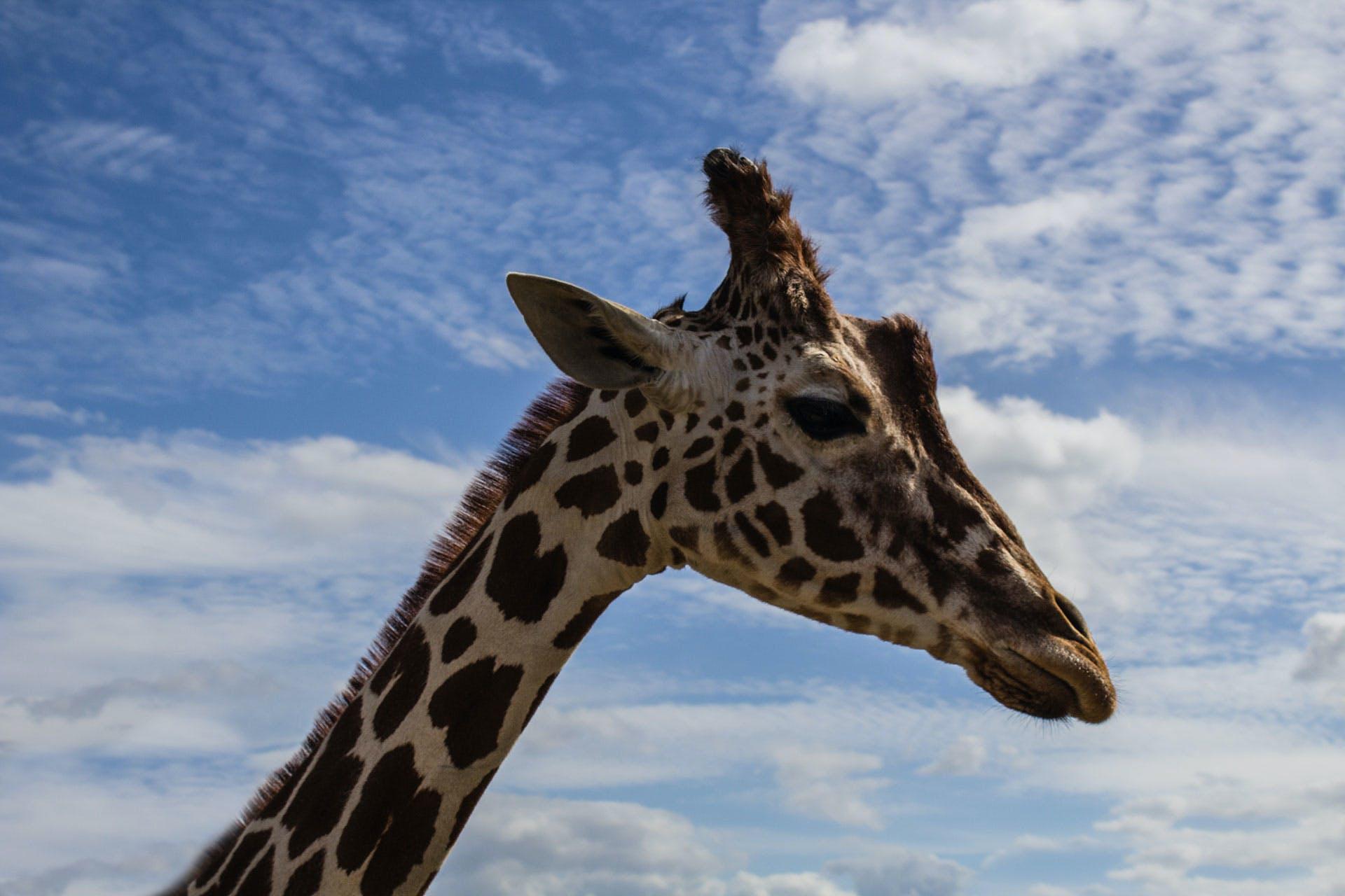 Giraffe Under White and Blue Sky