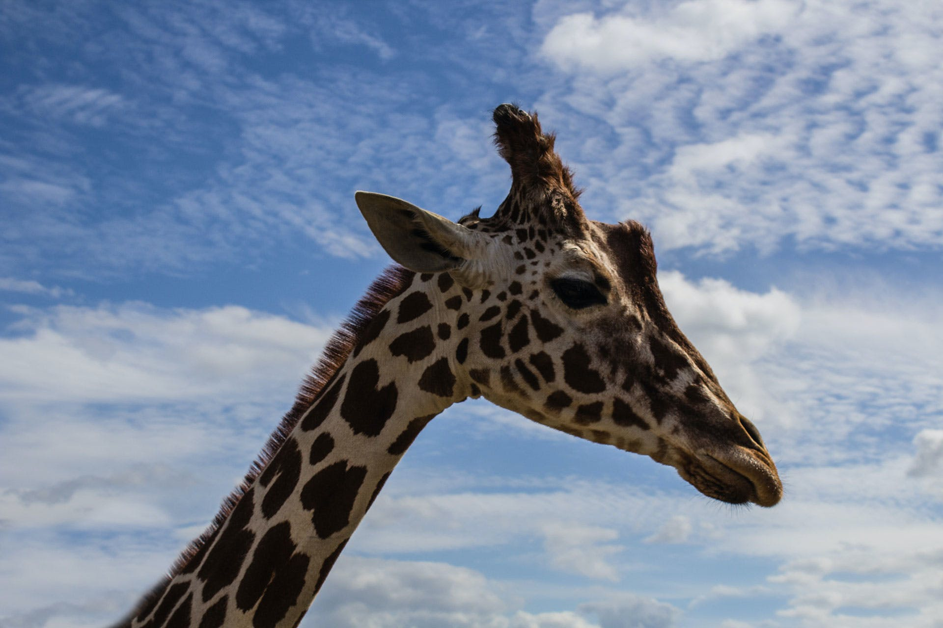 Giraffe Under White and Blue Sky