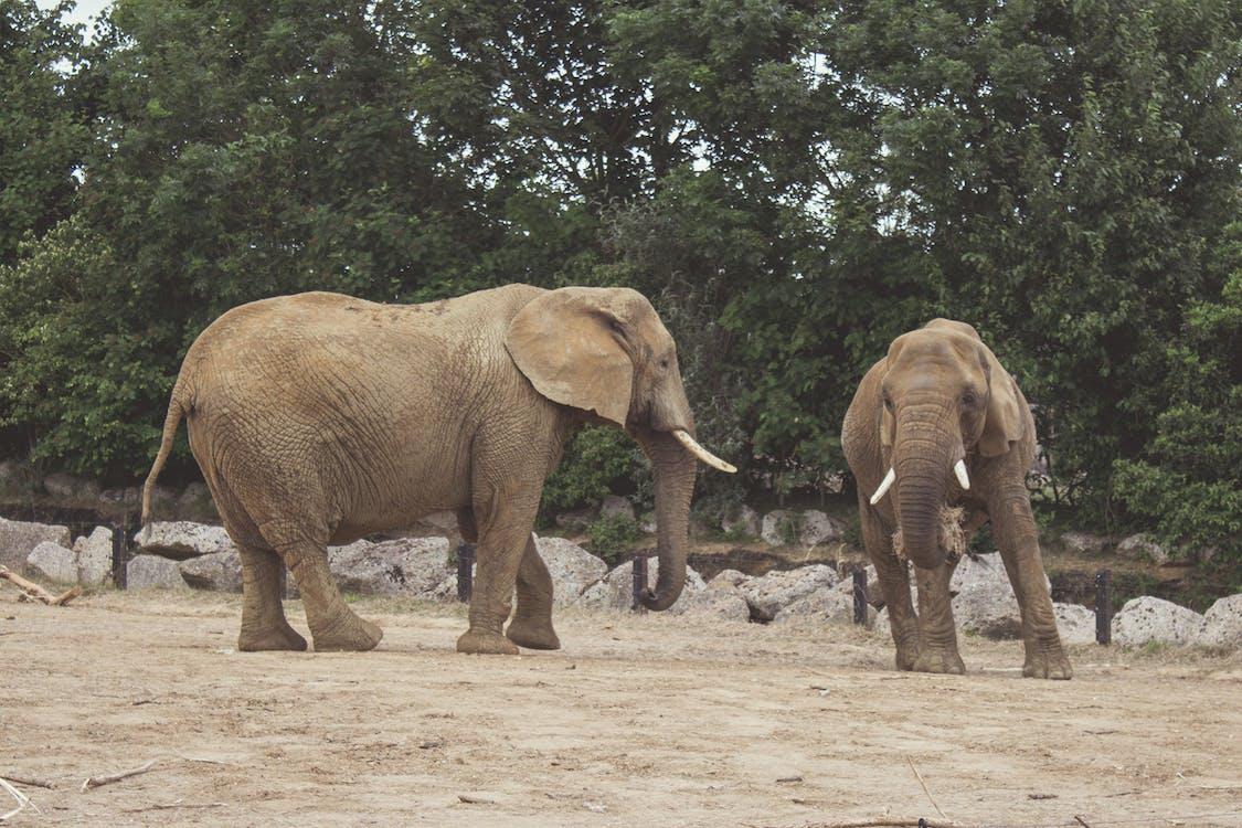 afryka, ogród zoologiczny, słonie