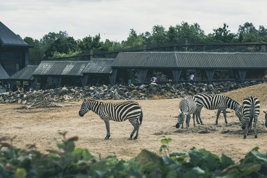 Free stock photo of africa, animals, zoo, zebras