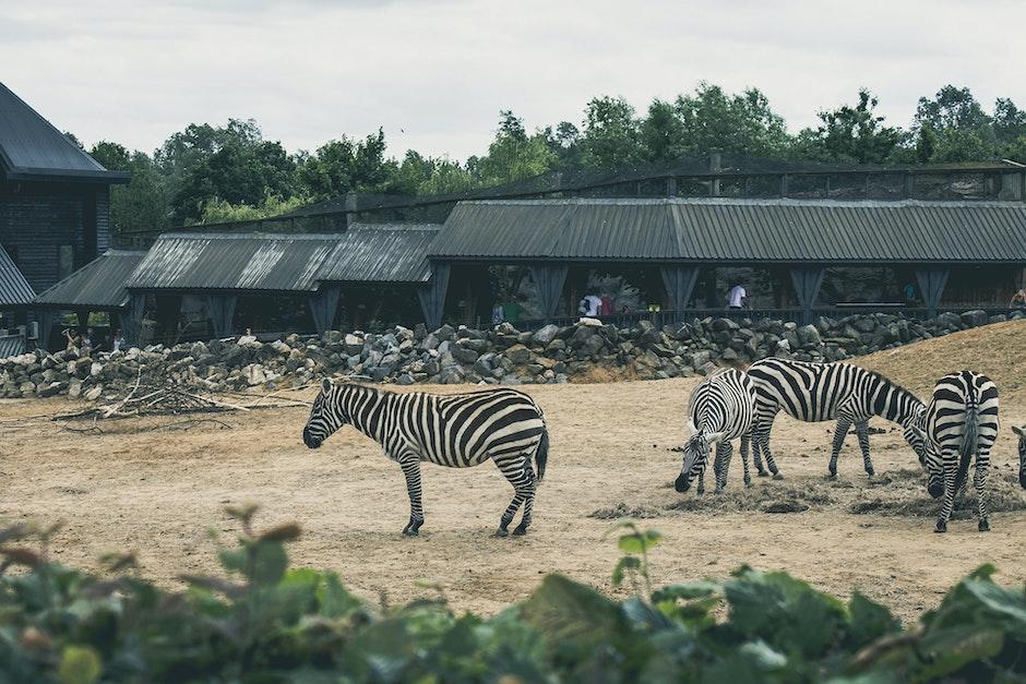 africa, animals, zebras