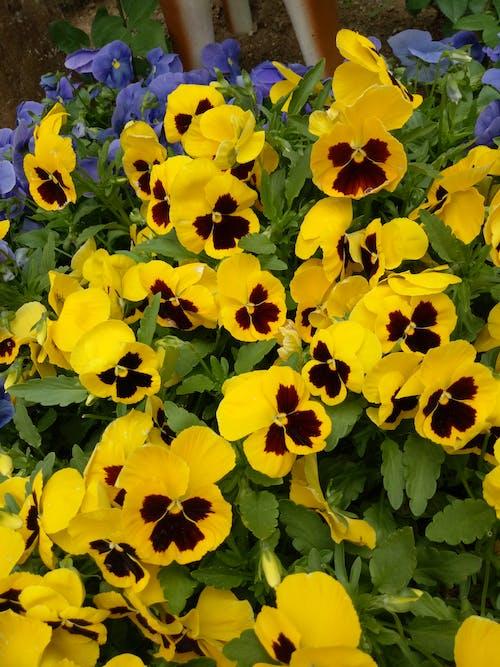 Blooming Yellow Pansies