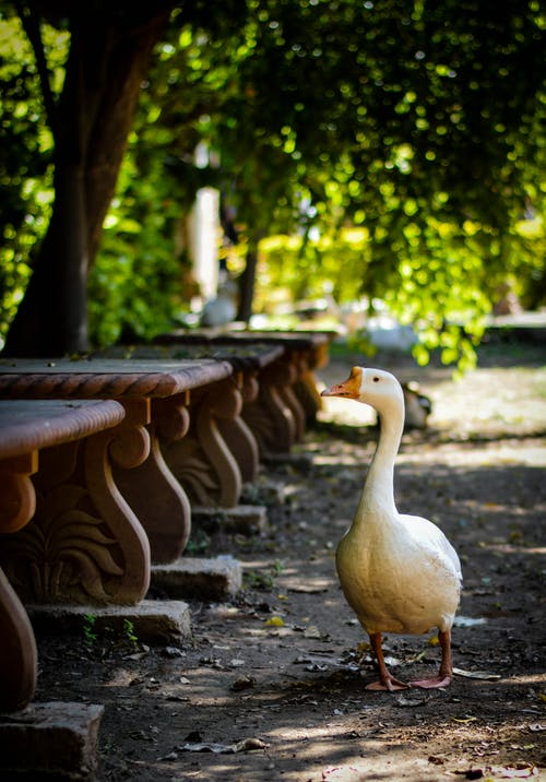 White Goose Standing Beside Concrete Bench Lot