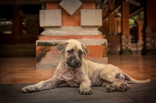Short-coated Brindle Puppy Lying on Floor