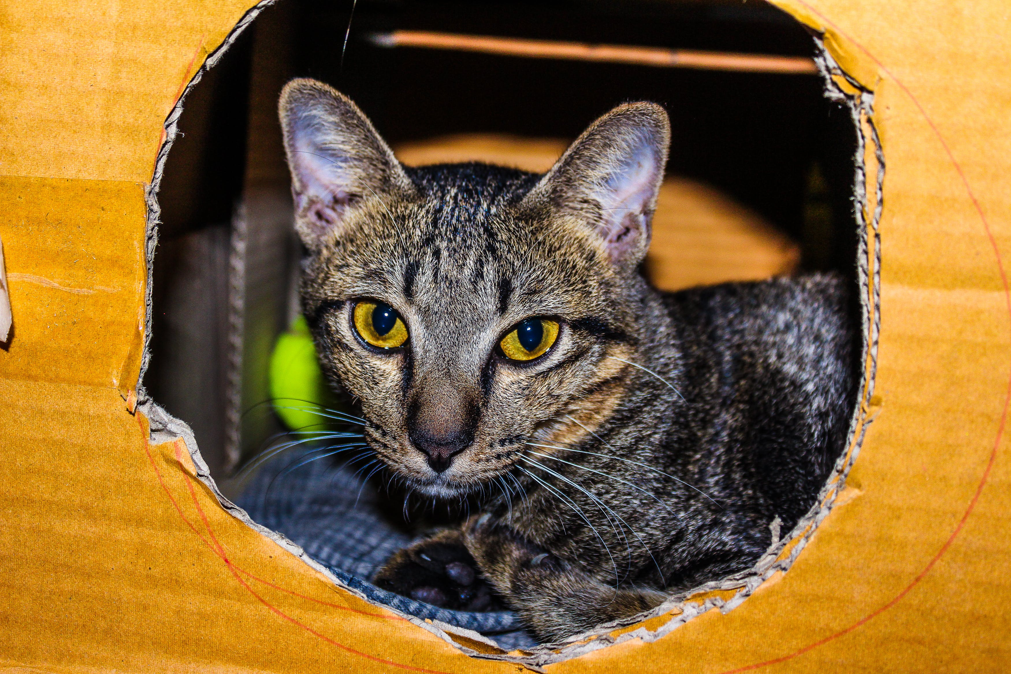 Brown Tabby Cat Inside Cardboard Box