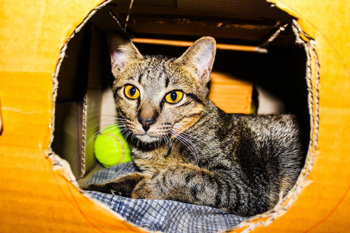 Silver Tabby Cat Inside a Brown Cardboard Box
