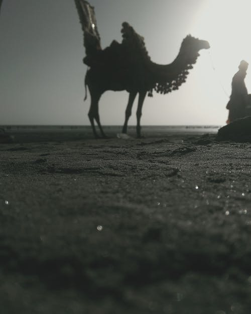 Free stock photo of beach sand, camel, man