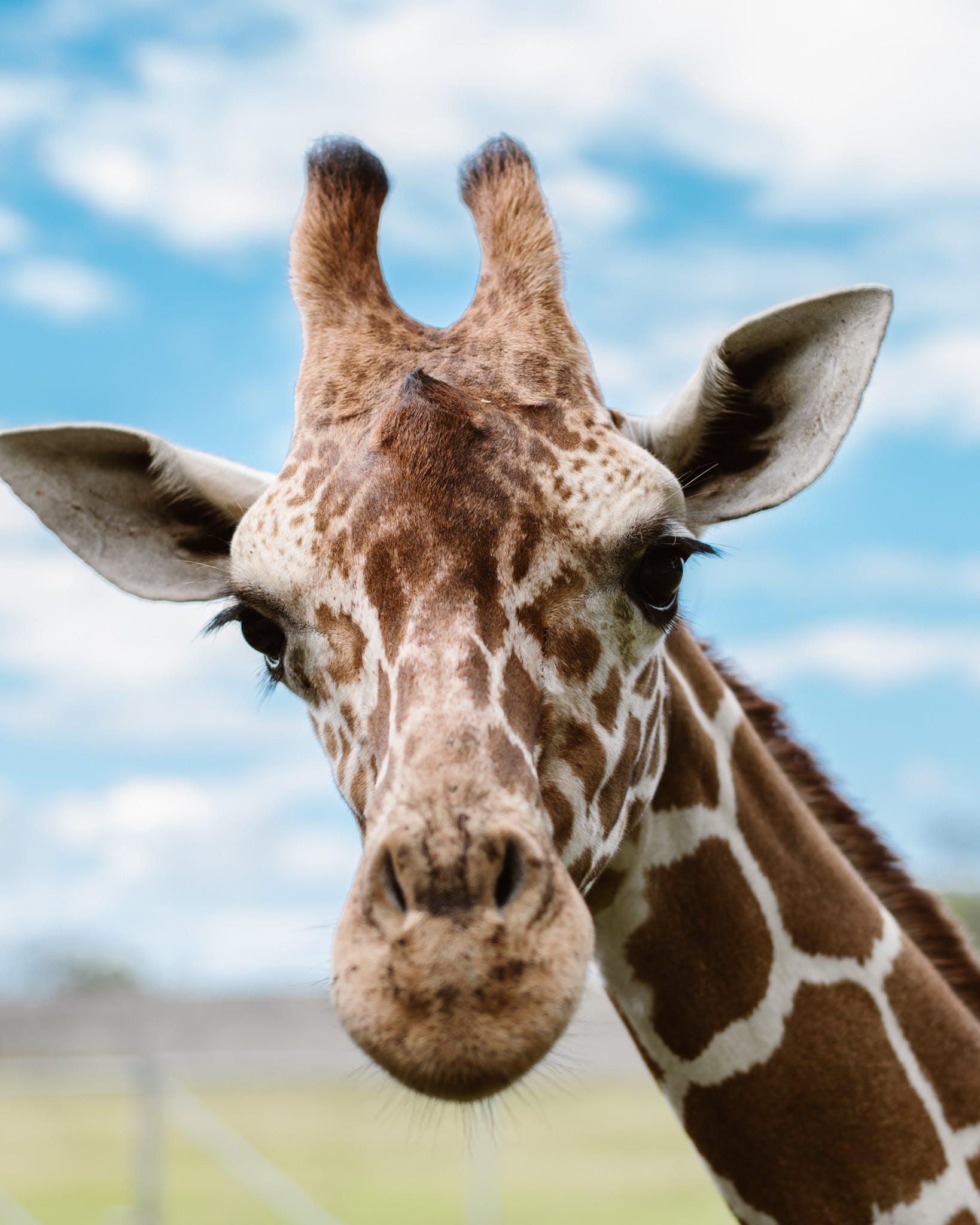 Free stock photo of giraffe