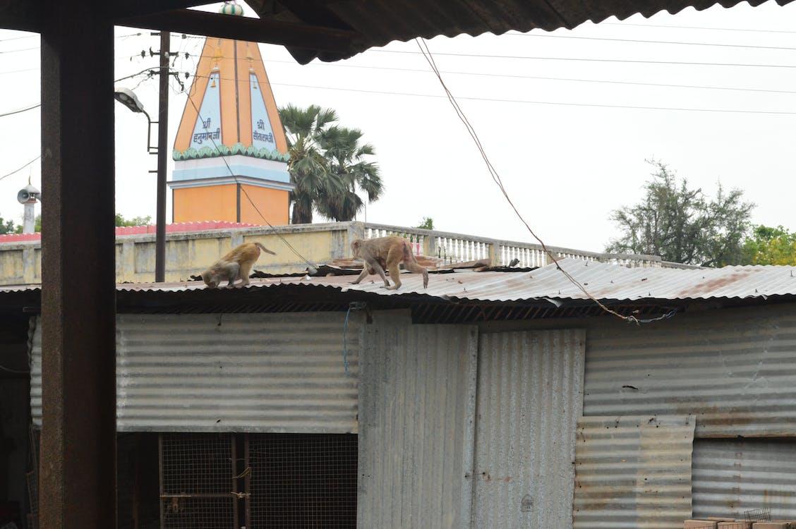 Free stock photo of monkey, temple
