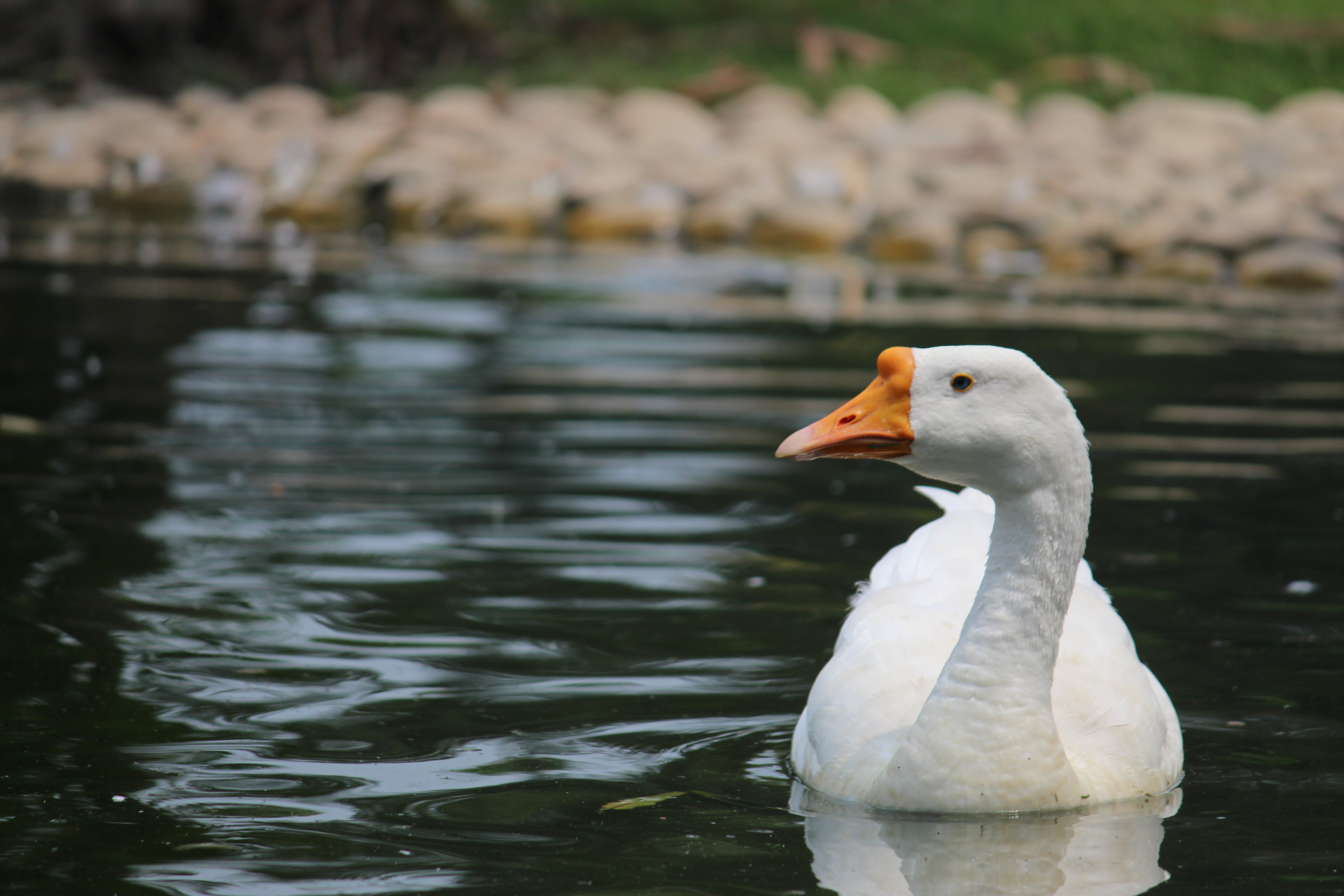 Goose on Body of Water