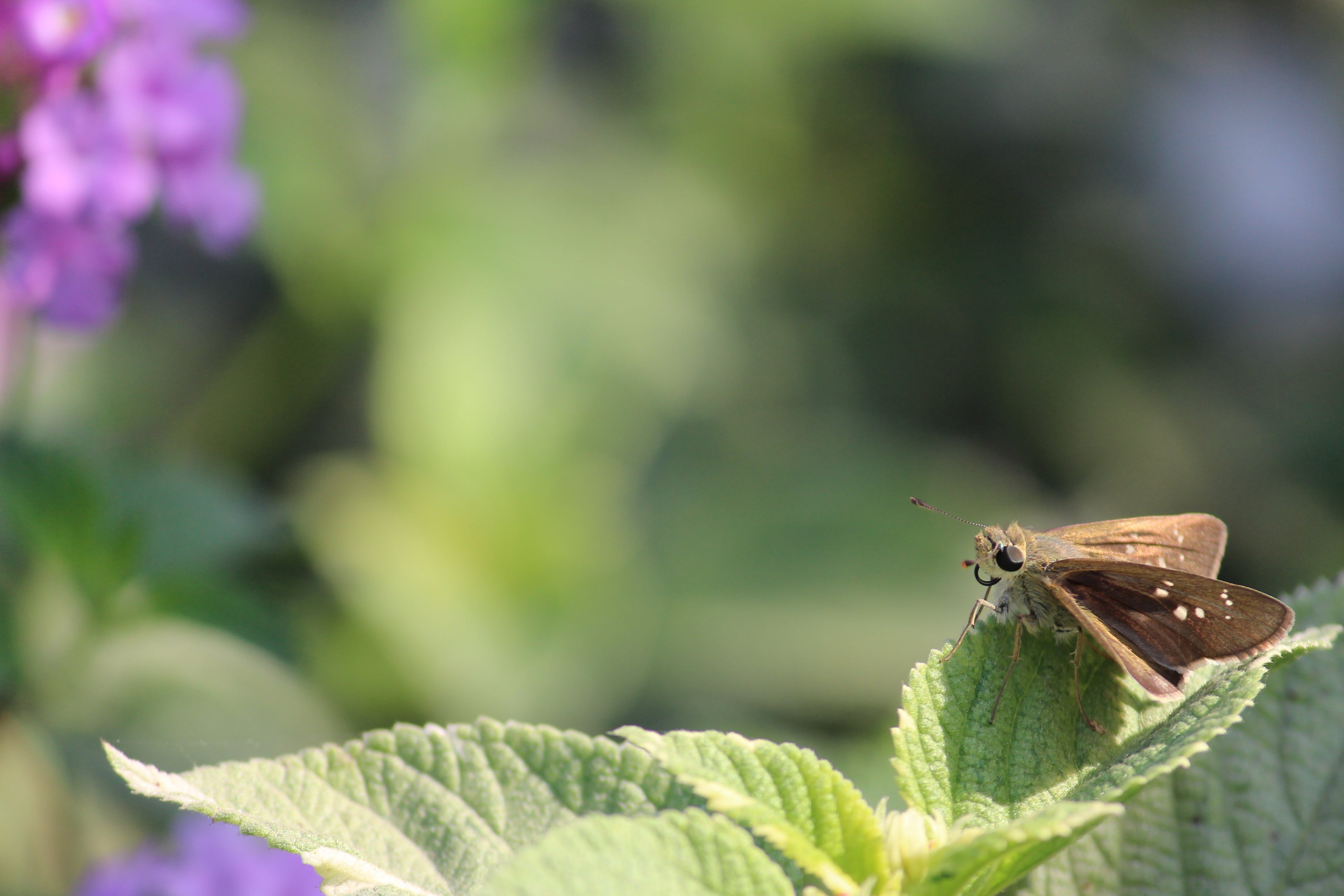 Brown Skipper Moth Perched on Green Leaf