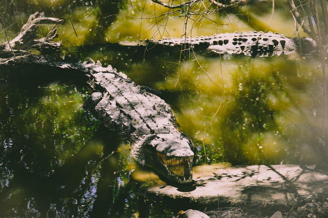 Wildlife Photography of Two Crocodiles