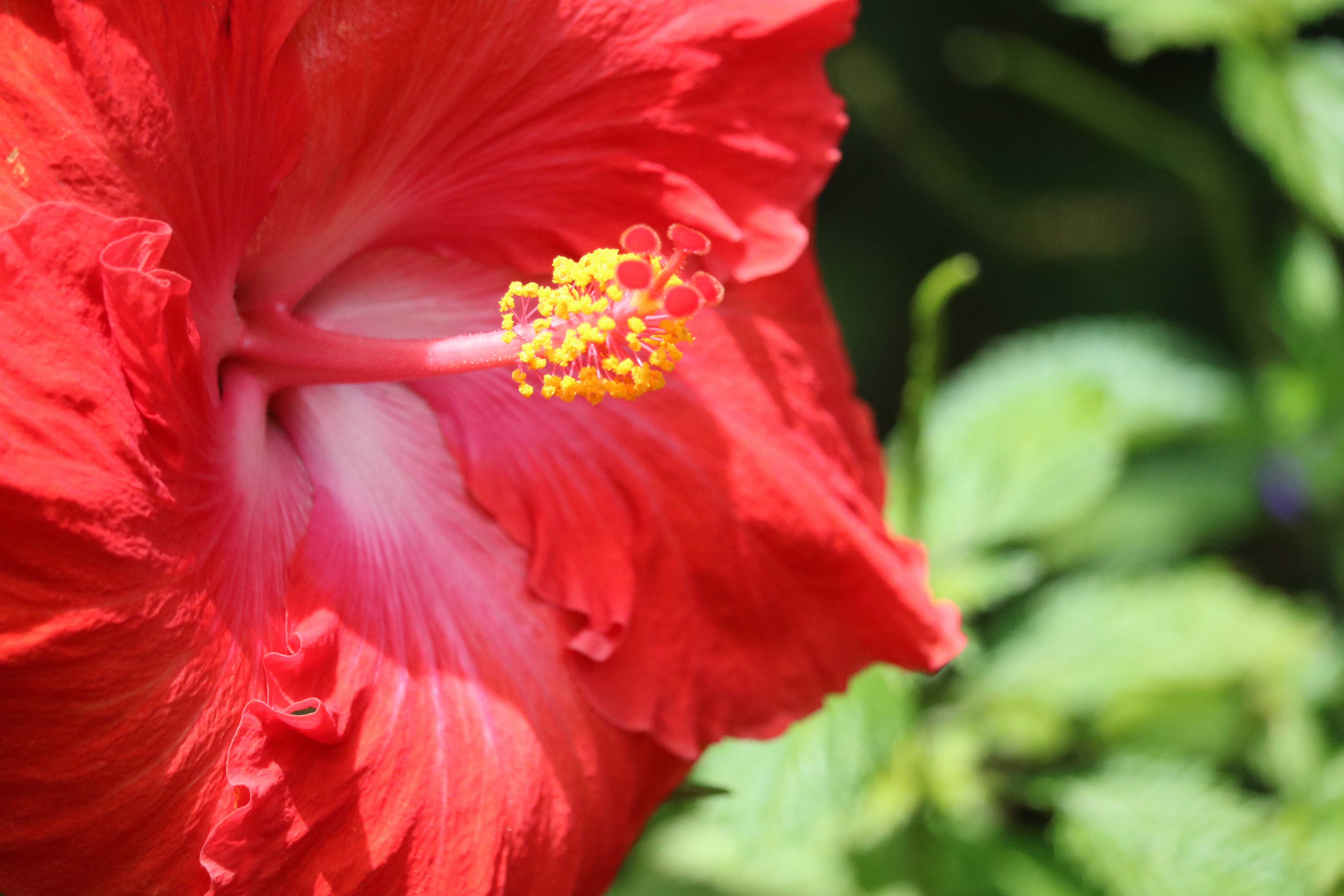 1000 beautiful hibiscus flower photos pexels free stock photos fetching more photos izmirmasajfo