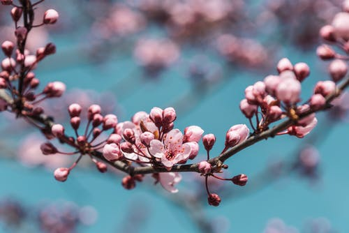 Close-Up Shot of Cherry Blossoms in Bloom