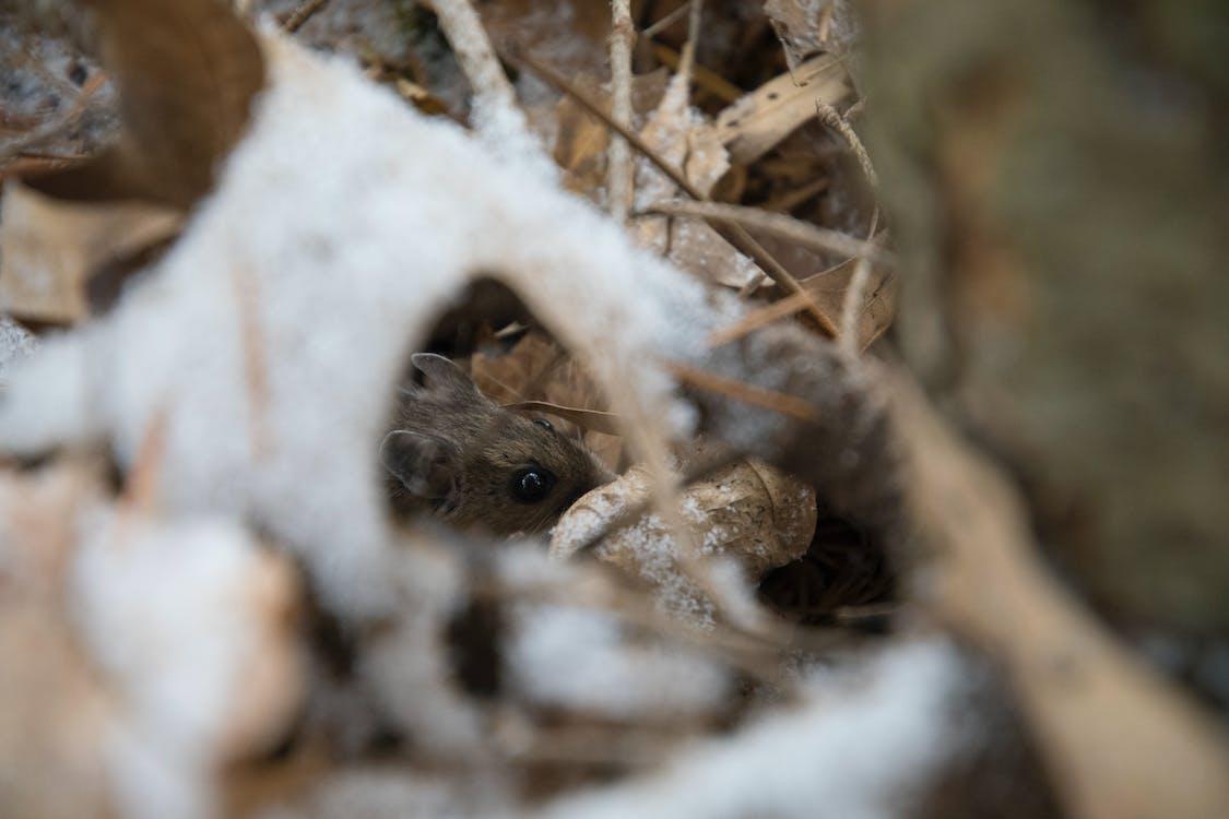 Brown Mouse Beside Leaf