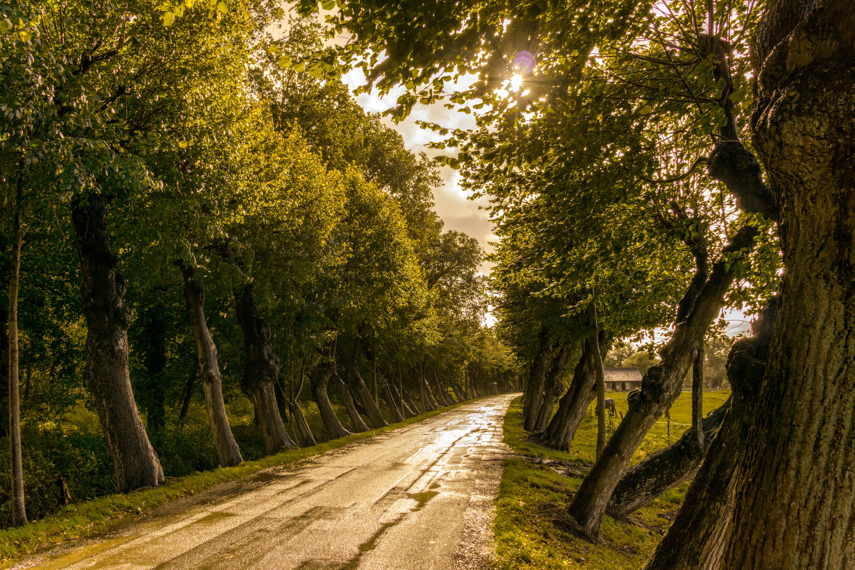 abendsonne, bäume, baumrinde