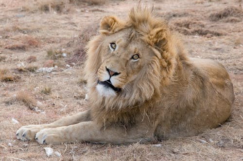 Adult Lion Lying on Ground