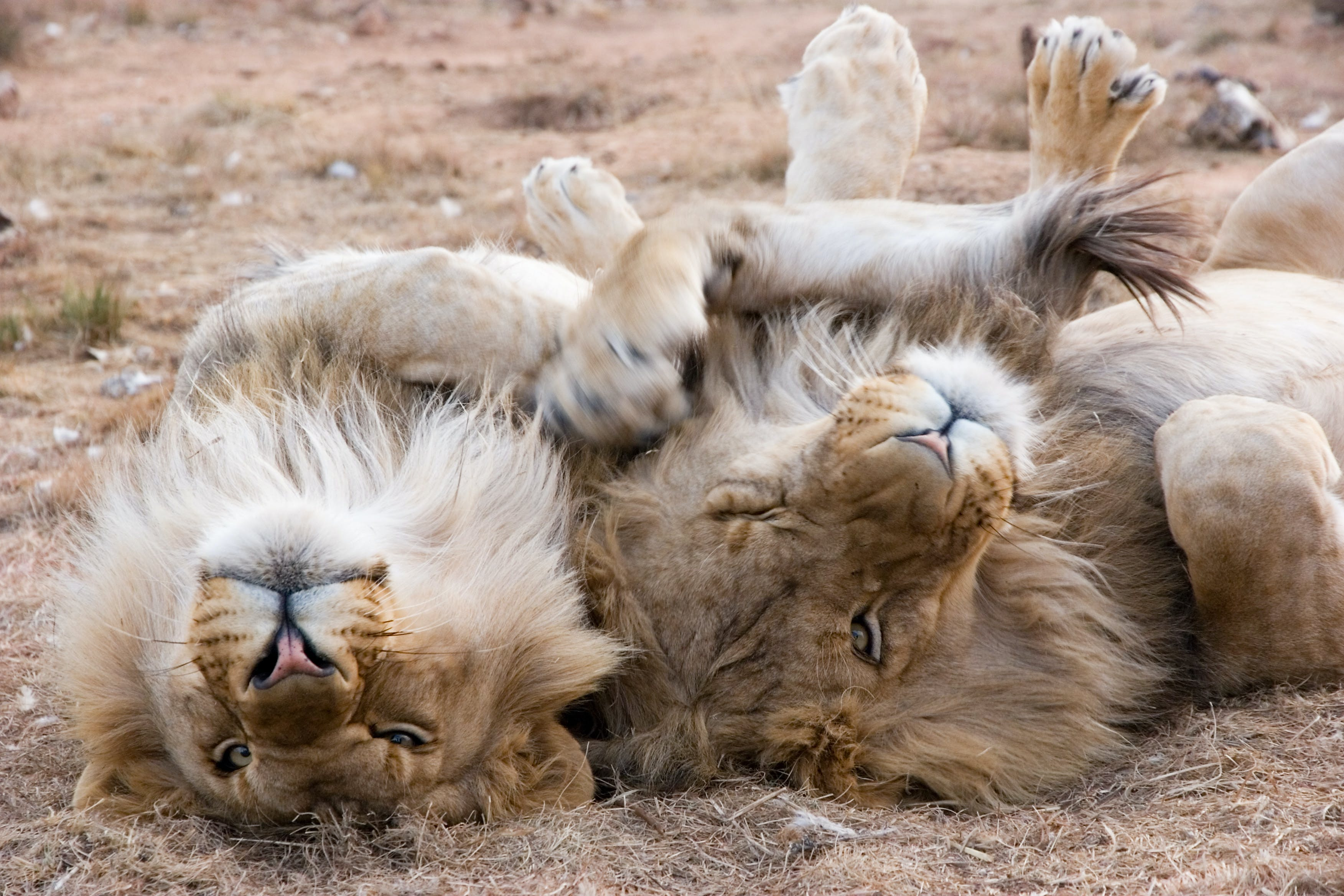 Two Gray Lions Laying on Sand