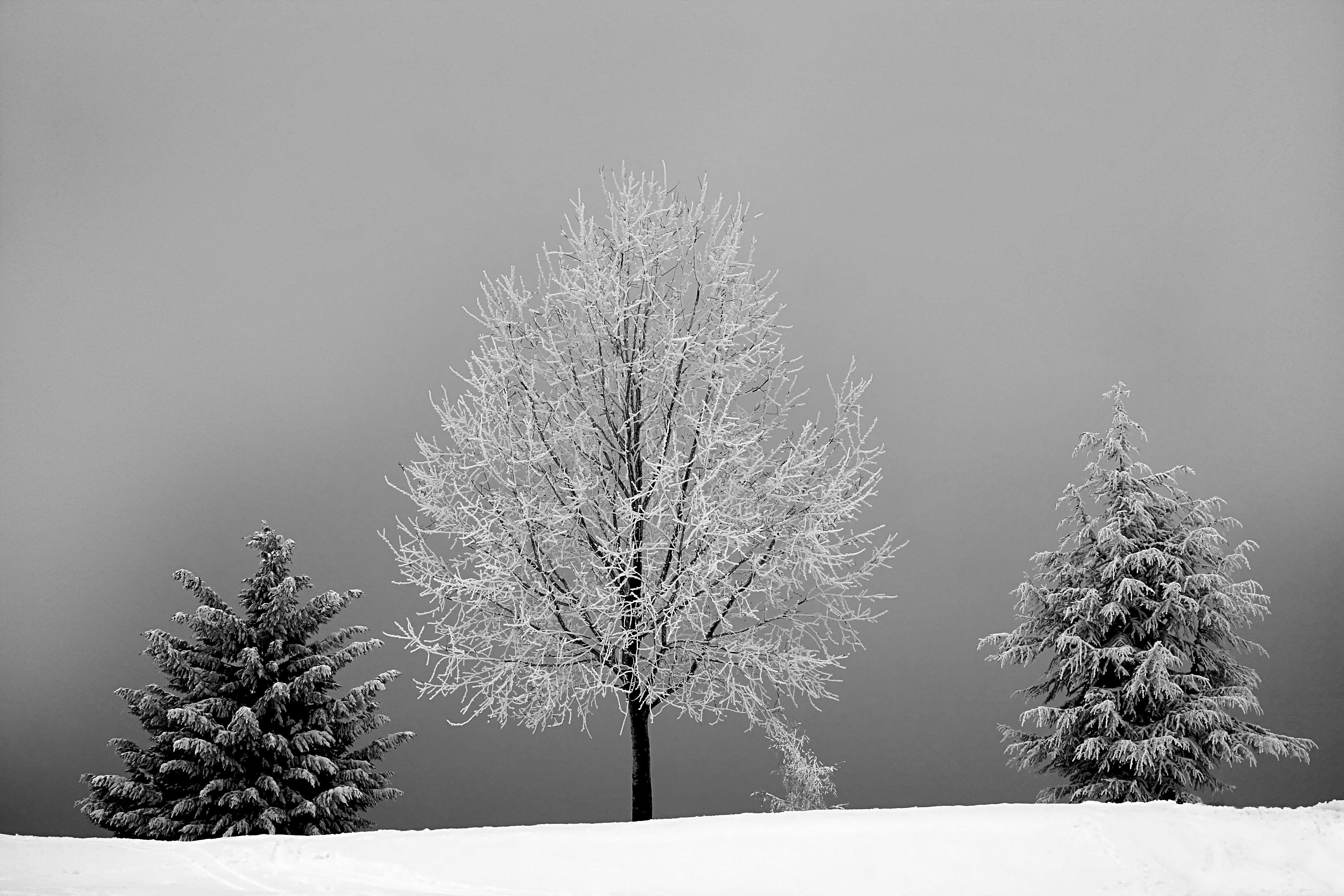 Grayscale Photo of Bareless Tree Between Tree With Snow