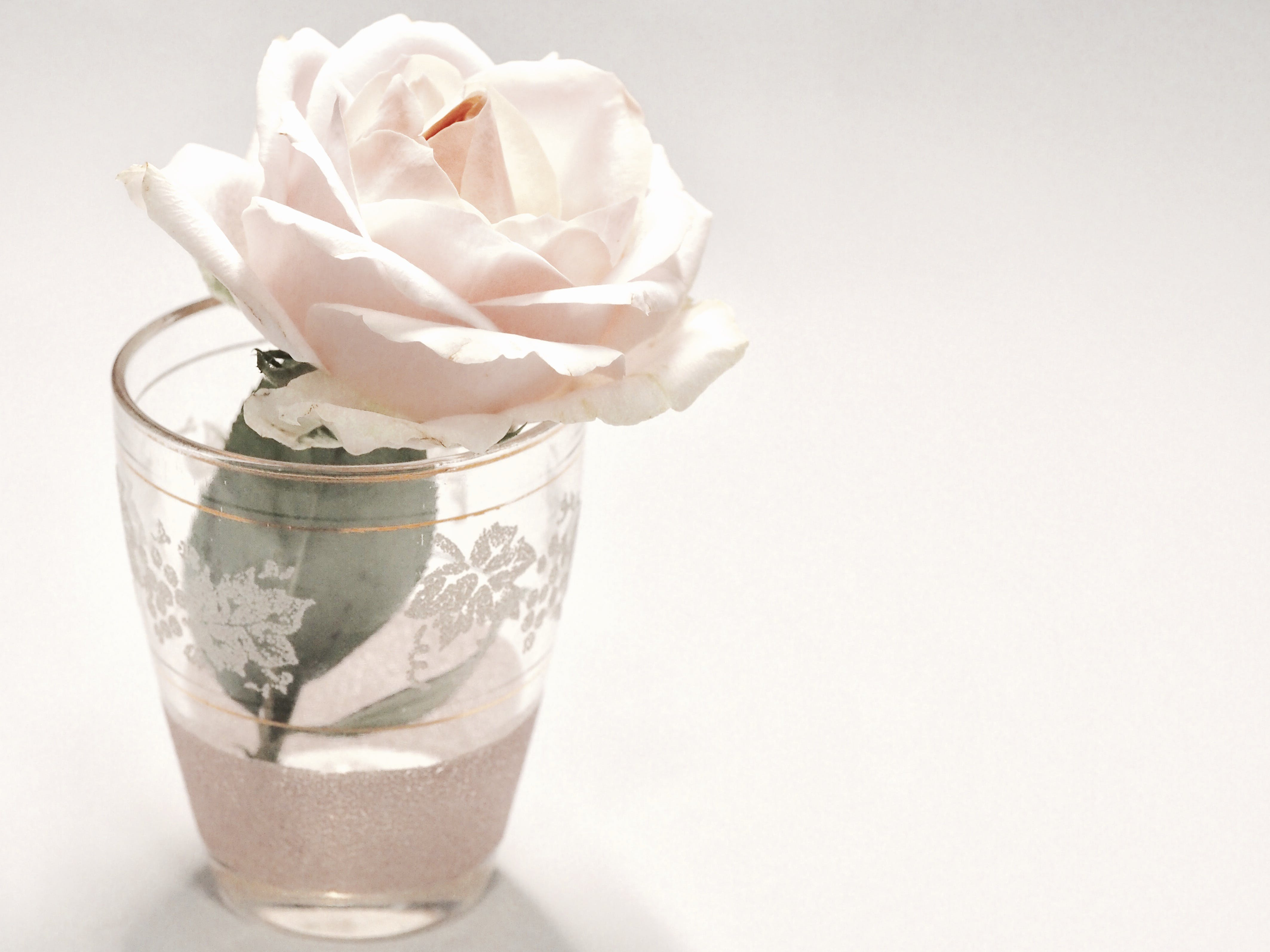 White Rose Flower in Clear Drinking Glass