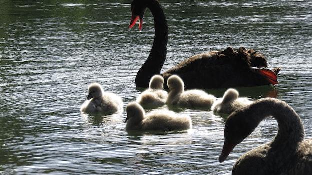 Free stock photo of nature, lake, birds, swans
