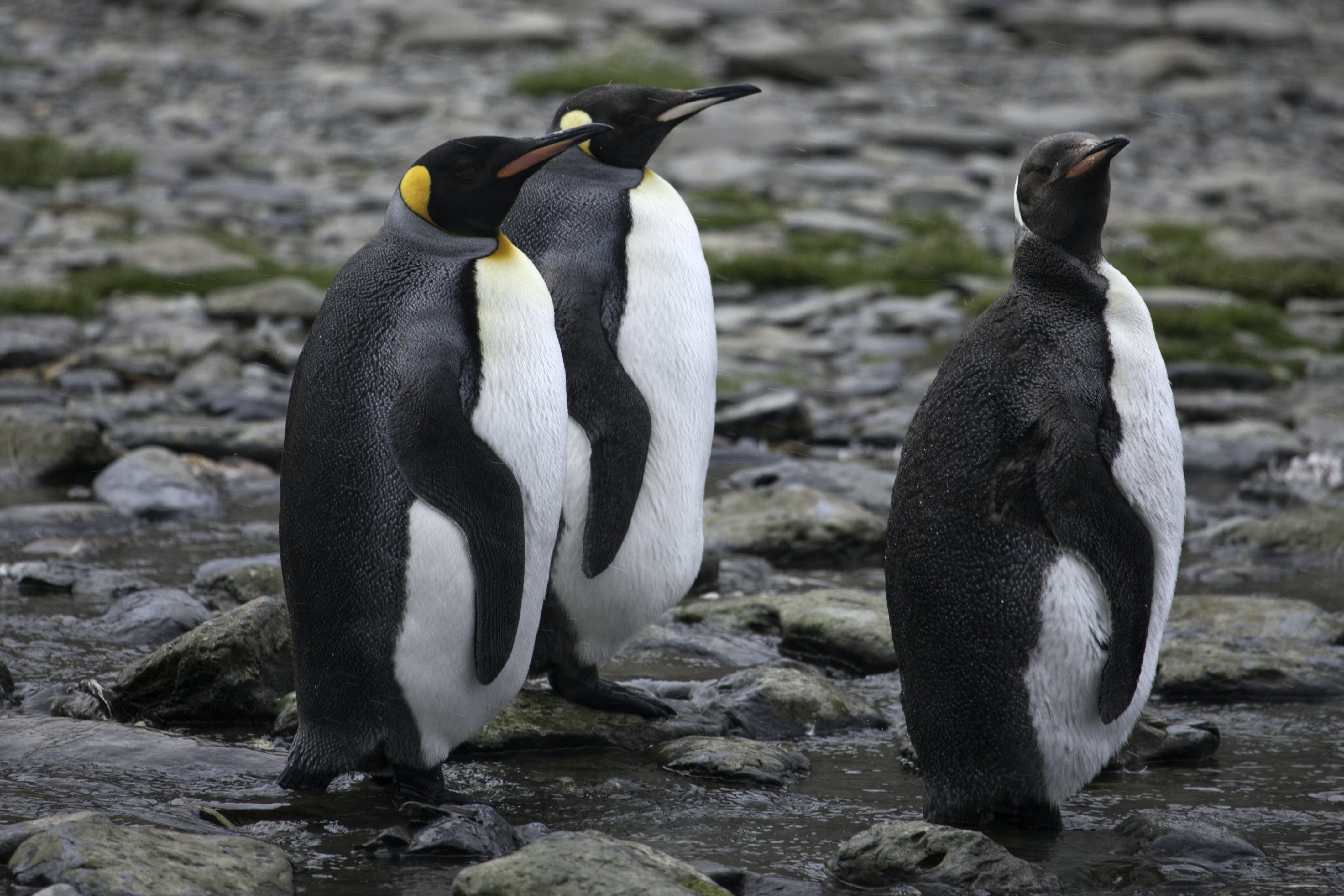 Free stock photo of bird, king penguins, penguins, Rosita Harbour