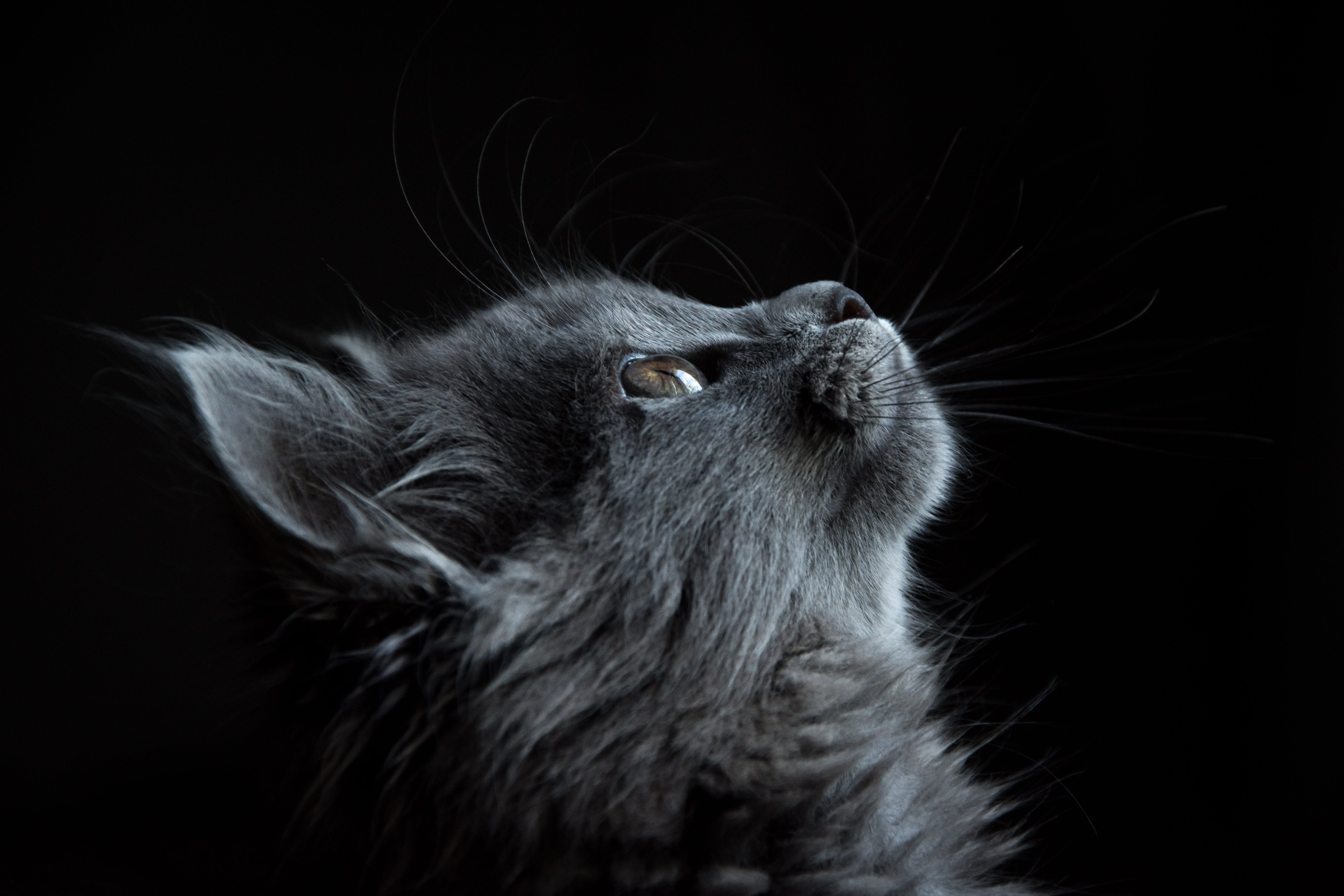 P O Of Gray Cat Lo Ng Up Against Black Background