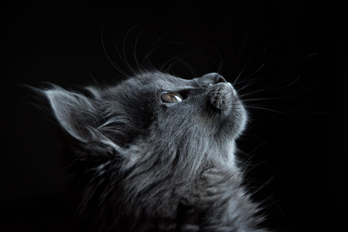 Photo of Gray Cat Looking Up Against Black Background