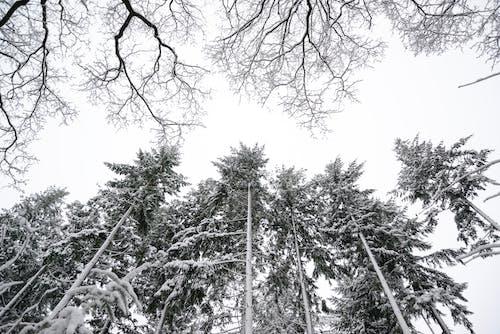 Photos gratuites de arbres, blanc, bois, branches
