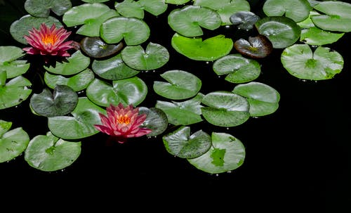 Red-and-green Lily Pads Focus Photography