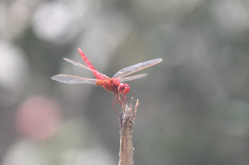 Free stock photo of dragonflies