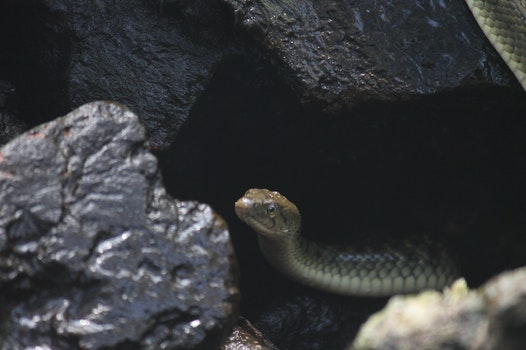 Gray Snake on Black Rock Formation