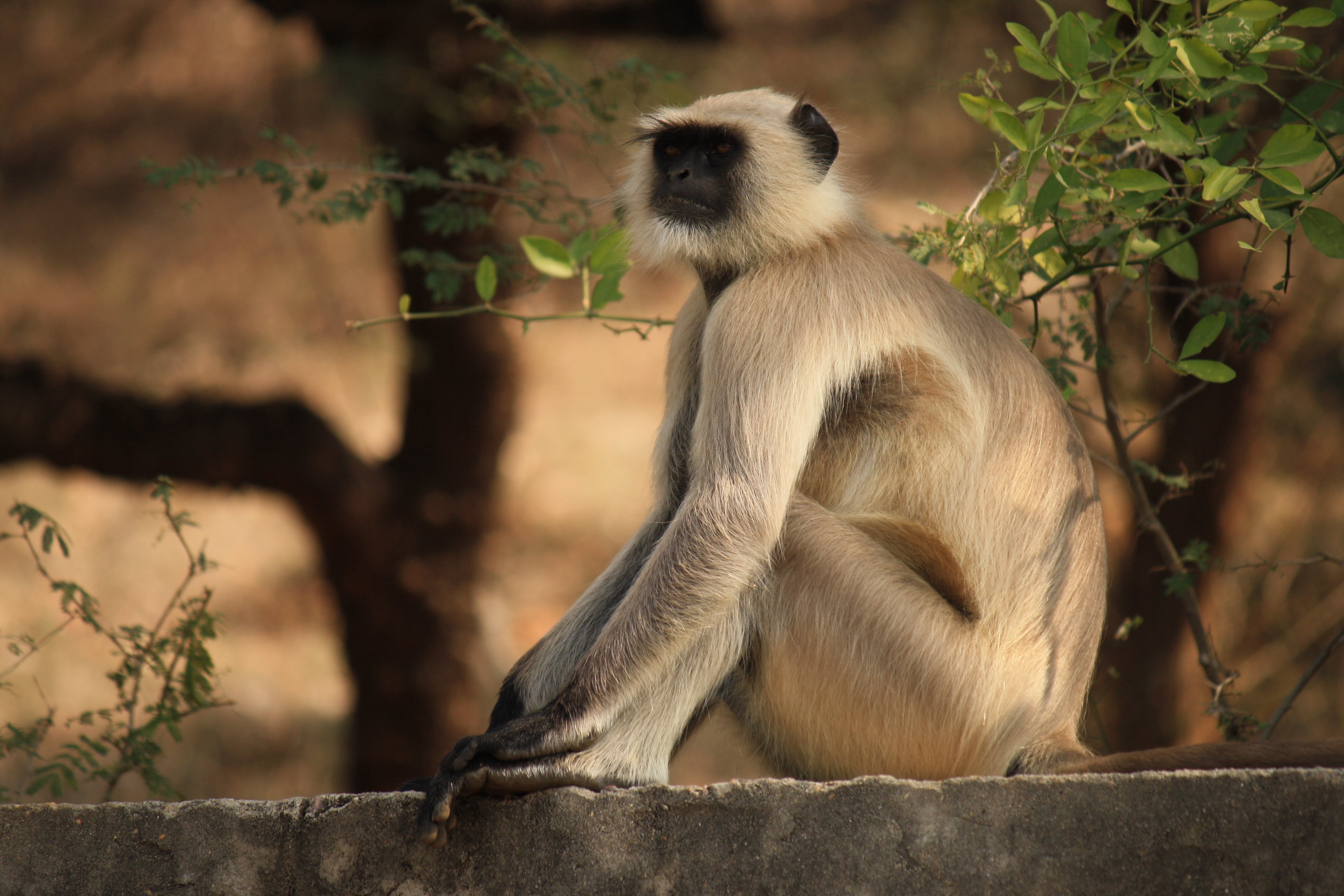 Depth of Field of Gray Langur Sitting on Gray Concrete Surface Near Green Leaf Plant
