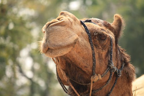 Brown Camel Photography