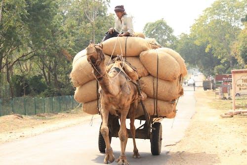 Gratis lagerfoto af camerl cart, indisk kamel, kamel