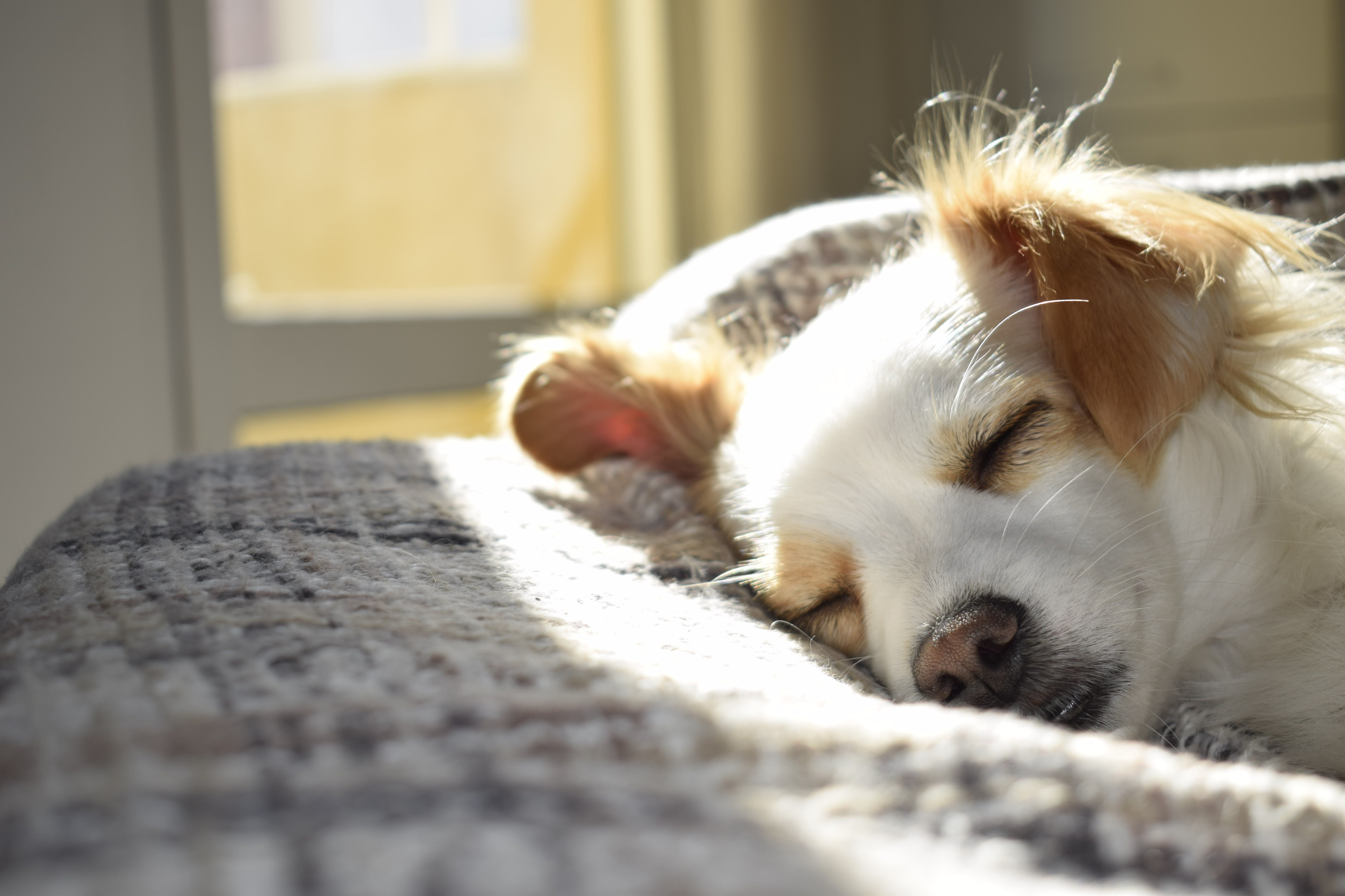 Closeup Photography of Adult Short-coated Tan and White Dog Sleeping on Gray Textile at Daytime