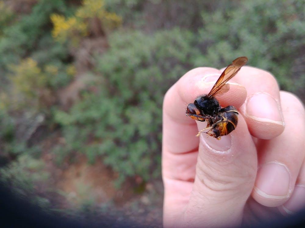 Fotos de stock gratuitas de vespa velutina