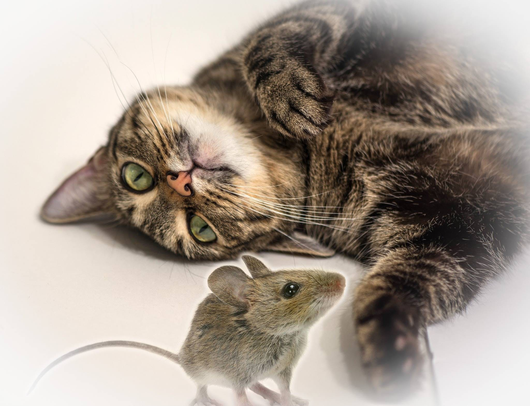 Free stock photo of cat, mouse