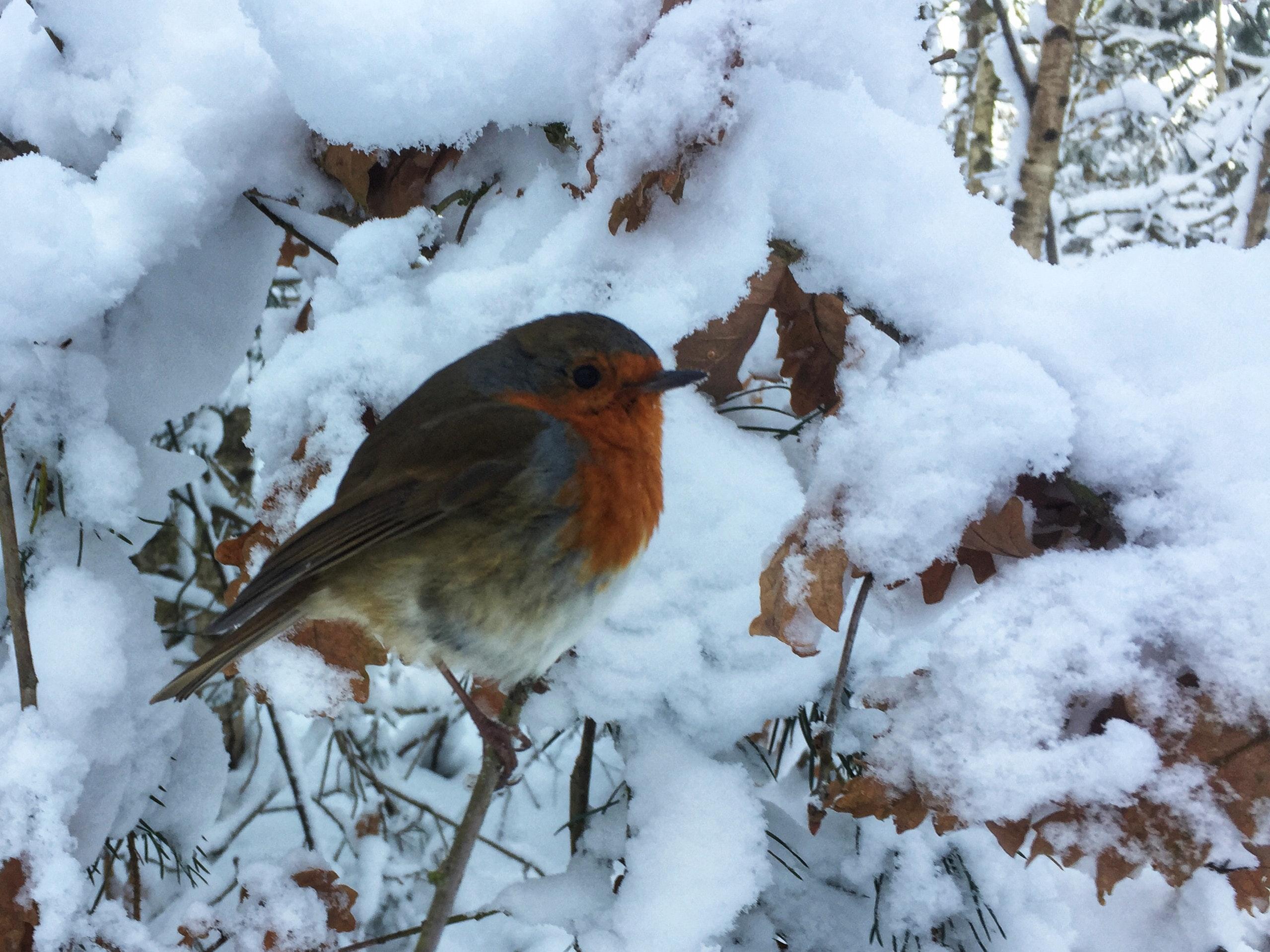 free stock photo of bird robin snow