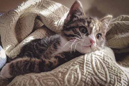 Brown Tabby Cat Lying Down on Gray Bed Sheet