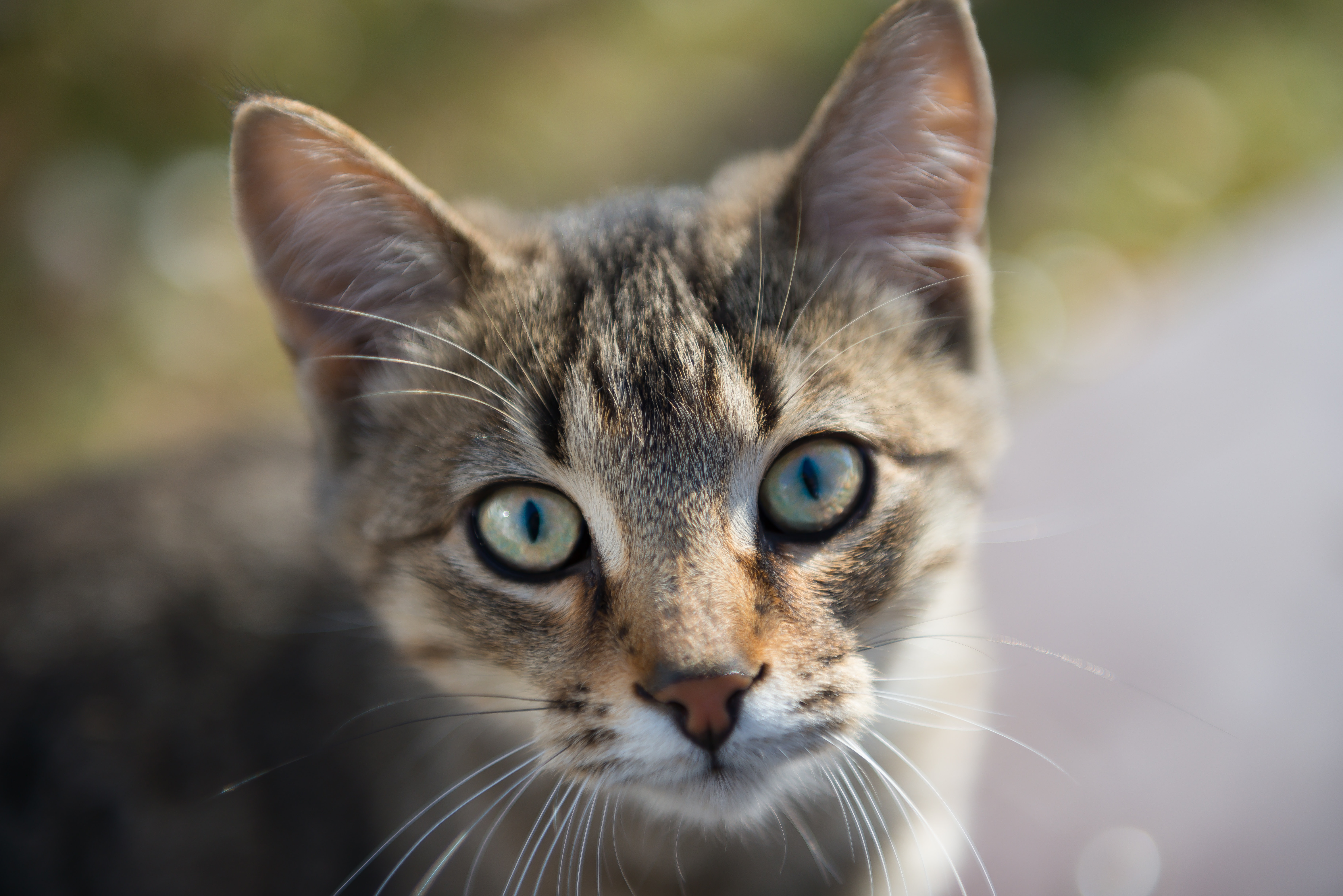 Brown Tabby Cat · Free Stock Photo
