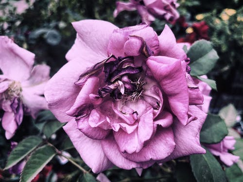 Close-Up Shot of a Purple Rose in Bloom