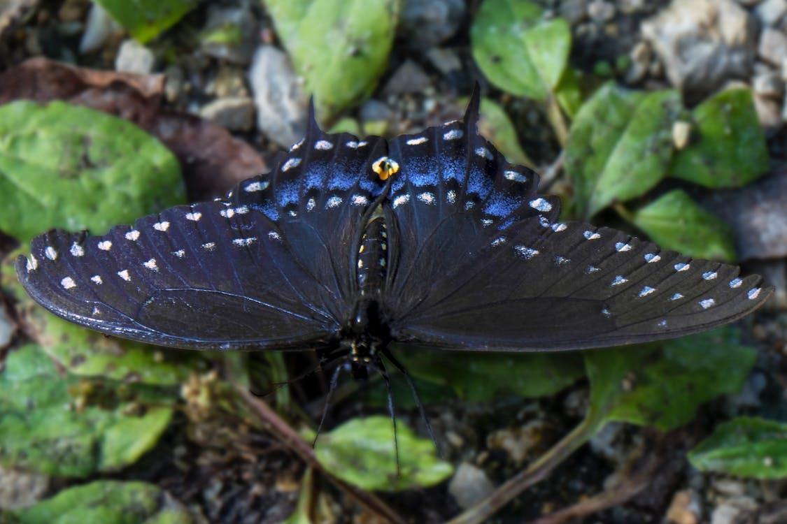 Free stock photo of blue, butterflies, butterfly