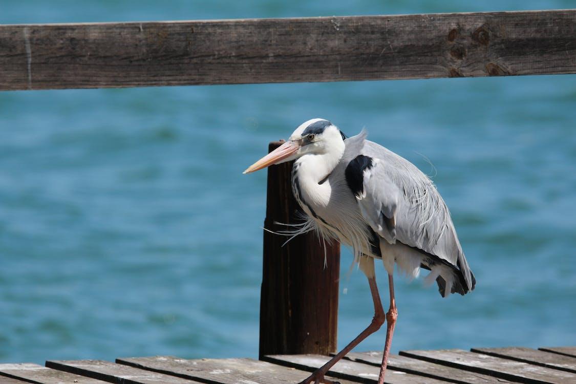 Free stock photo of heron, jetty