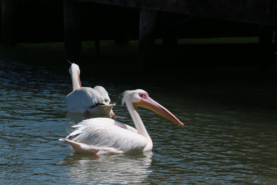 Free stock photo of pelican, pelicans