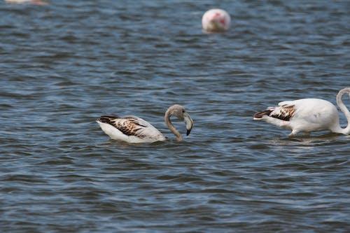 Free stock photo of flamingo, flamingos, young flamingo