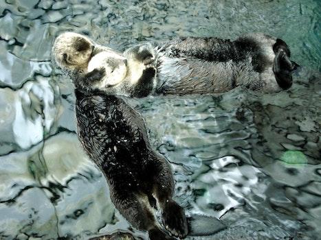 Free stock photo of animals, marine, otter, theme overhead