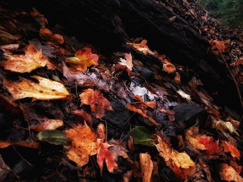 Gratis lagerfoto af ahorn, dagslys, farve, flora
